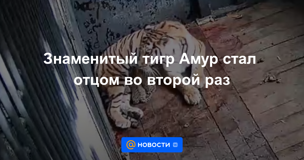 Знаменитый тигр Амур стал отцом во второй раз