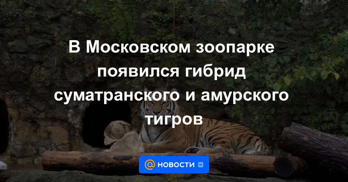 В Московском зоопарке появился гибрид суматранского и амурского тигров